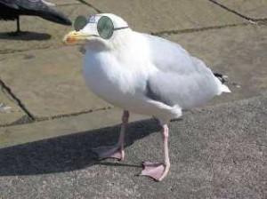 Seagull wearing prescription glasses sunglasses