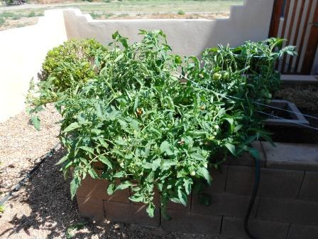 Tomato Plant Growing Like Crazy