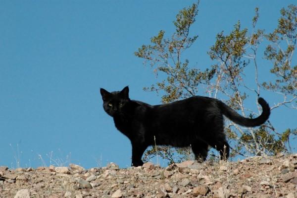 black panther fodder